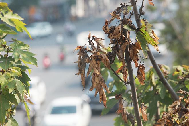 Hà Nội thay phong lá đỏ bằng bàng lá nhỏ: Chuyên gia đề xuất loại cây khác - hình ảnh 1