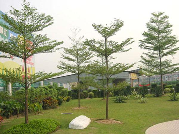 Hà Nội thay phong lá đỏ bằng bàng lá nhỏ: Chuyên gia đề xuất loại cây khác - hình ảnh 2