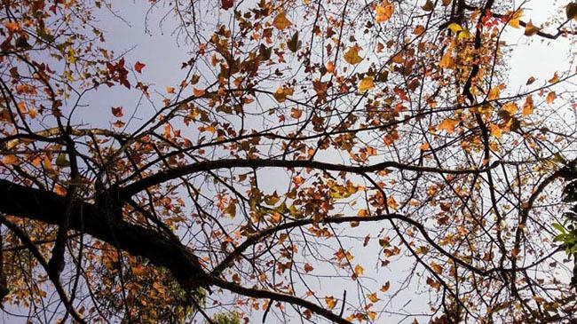 Hà Nội thay phong lá đỏ bằng bàng lá nhỏ: Chuyên gia đề xuất loại cây khác - hình ảnh 3