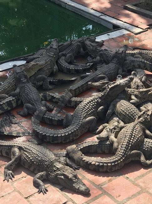 Cá sấu bị bỏ đói, trang trại lớn nhất miền Bắc bù lỗ mỗi tháng 200 triệu đồng - 4