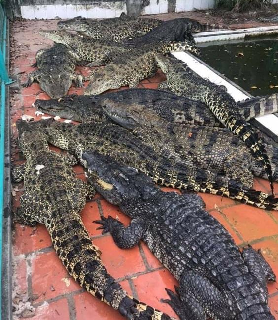 Cá sấu bị bỏ đói, trang trại lớn nhất miền Bắc bù lỗ mỗi tháng 200 triệu đồng - 6