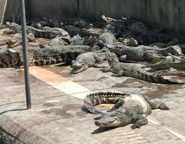 Cá sấu bị bỏ đói, trang trại lớn nhất miền Bắc bù lỗ mỗi tháng 200 triệu đồng - 5