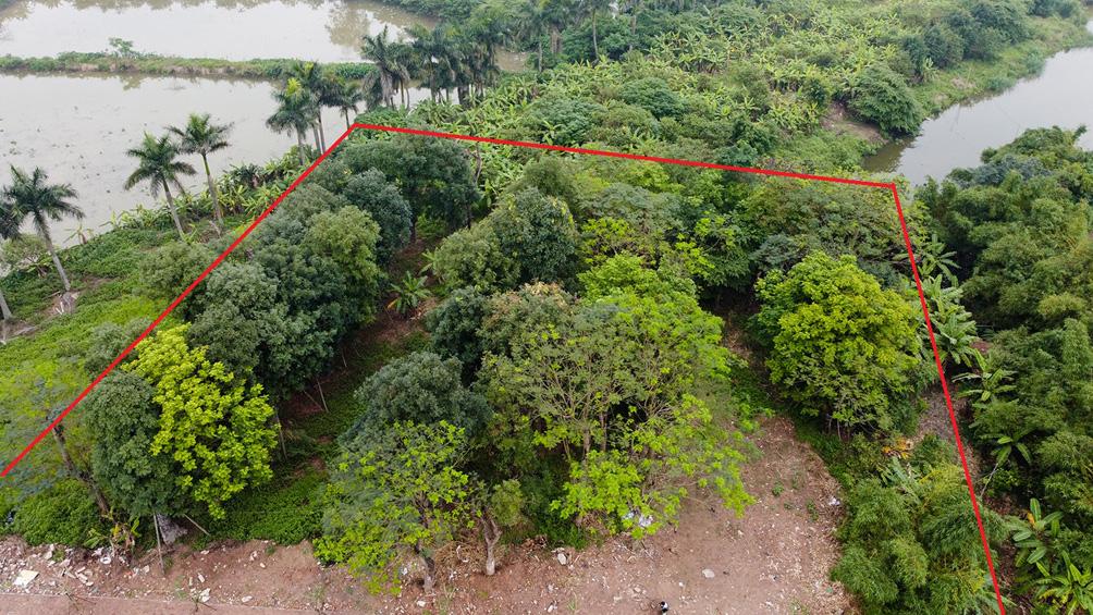 Hàng cây cổ thụ đường Kim Mã sau 5 năm đánh chuyển: Sống dở, chết dở, không ai chăm sóc - hình ảnh 1