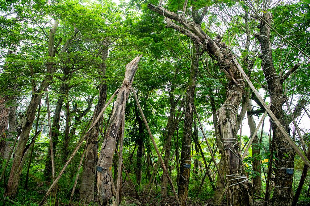 Hàng cây cổ thụ đường Kim Mã sau 5 năm đánh chuyển: Sống dở, chết dở, không ai chăm sóc - hình ảnh 11