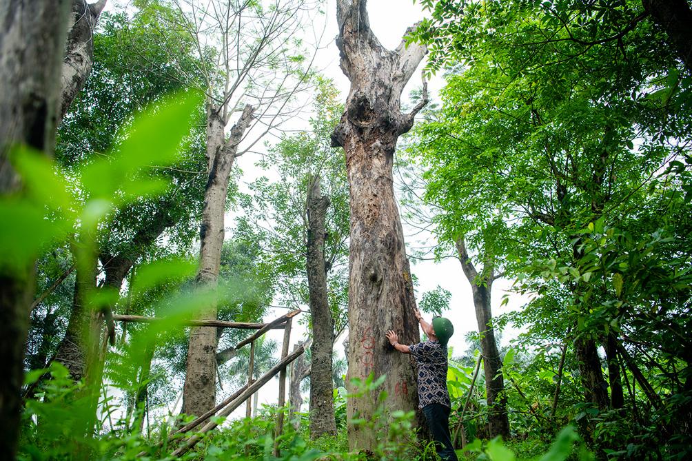 Hàng cây cổ thụ đường Kim Mã sau 5 năm đánh chuyển: Sống dở, chết dở, không ai chăm sóc - hình ảnh 14