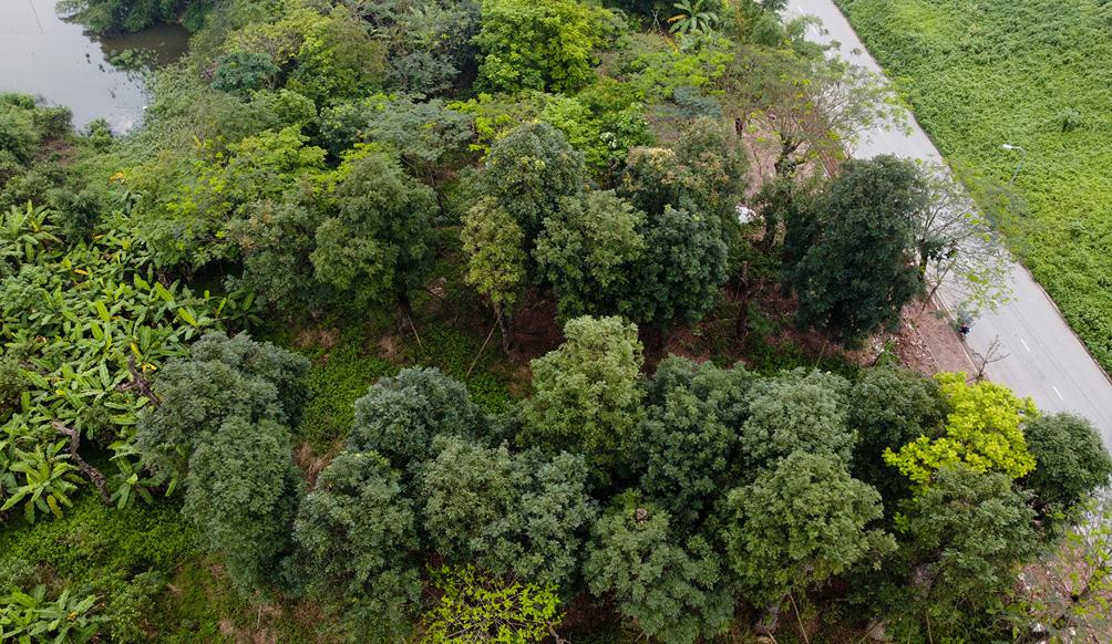 Hàng cây cổ thụ đường Kim Mã sau 5 năm đánh chuyển: Sống dở, chết dở, không ai chăm sóc - hình ảnh 2