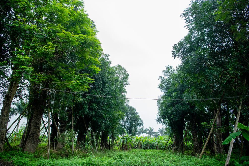 Hàng cây cổ thụ đường Kim Mã sau 5 năm đánh chuyển: Sống dở, chết dở, không ai chăm sóc - hình ảnh 3