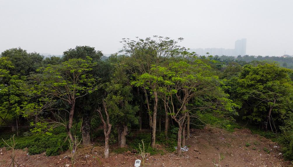 Hàng cây cổ thụ đường Kim Mã sau 5 năm đánh chuyển: Sống dở, chết dở, không ai chăm sóc - hình ảnh 5