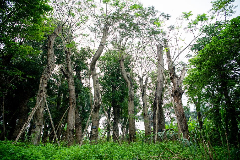 Hàng cây cổ thụ đường Kim Mã sau 5 năm đánh chuyển: Sống dở, chết dở, không ai chăm sóc - hình ảnh 7