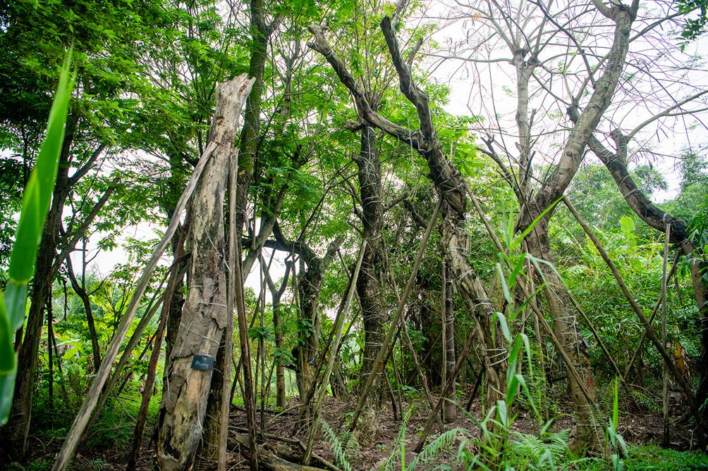 Hàng cây cổ thụ đường Kim Mã sau 5 năm đánh chuyển: Sống dở, chết dở, không ai chăm sóc - hình ảnh 8