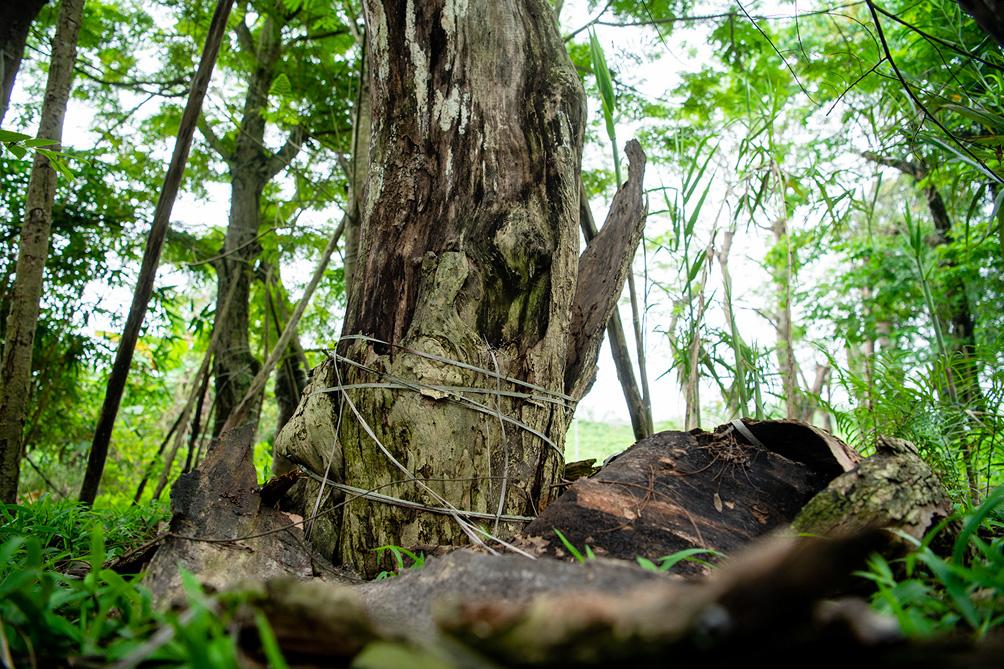Hàng cây cổ thụ đường Kim Mã sau 5 năm đánh chuyển: Sống dở, chết dở, không ai chăm sóc - hình ảnh 9