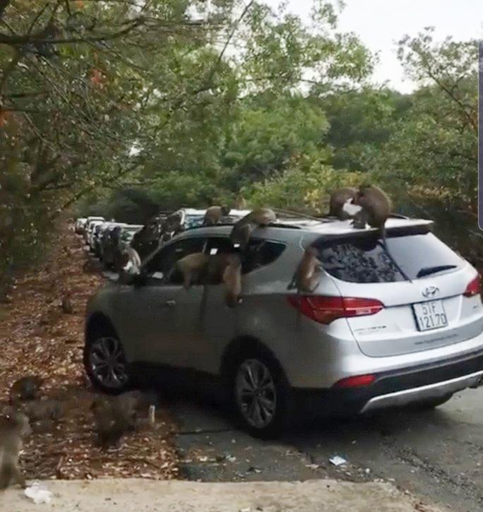 Hàng chục chú khỉ đại náo ôtô quên đóng cửa ở Cần Giờ - hình ảnh 1