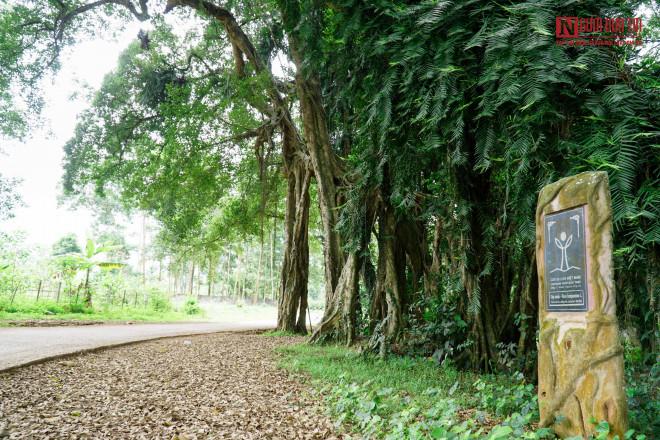 """Bí ẩn cây """"ma làng"""" hơn 800 tuổi ở Hoà Bình - 4"""