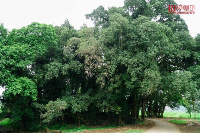 """Bí ẩn cây """"ma làng"""" hơn 800 tuổi ở Hoà Bình - 5"""