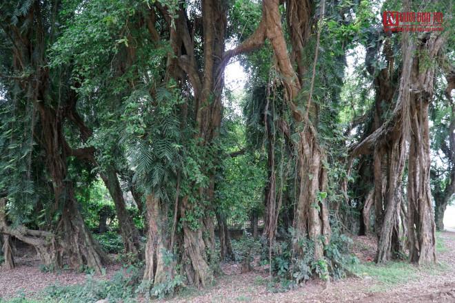 """Bí ẩn cây """"ma làng"""" hơn 800 tuổi ở Hoà Bình - 6"""