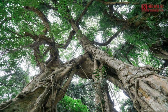 """Bí ẩn cây """"ma làng"""" hơn 800 tuổi ở Hoà Bình - 7"""