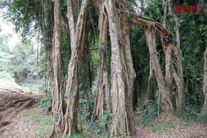"""Bí ẩn cây """"ma làng"""" hơn 800 tuổi ở Hoà Bình - 8"""