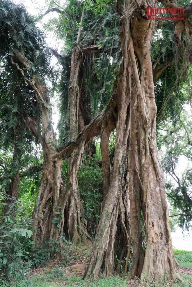 """Bí ẩn cây """"ma làng"""" hơn 800 tuổi ở Hoà Bình - 9"""