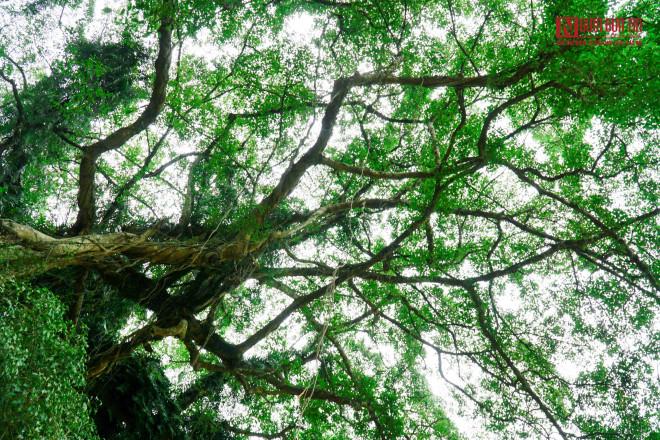 """Bí ẩn cây """"ma làng"""" hơn 800 tuổi ở Hoà Bình - 10"""