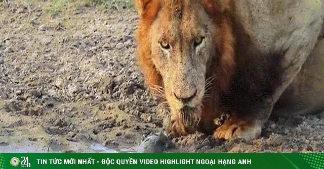Video: Xuống sông uống nước, sư tử bị rùa đánh đuổi