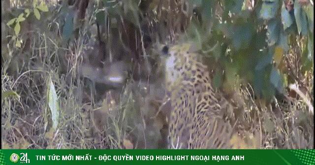 Video: Tung đòn hiểm giết chết trăn khổng lồ, báo đốm vật vã vì mồi khủng
