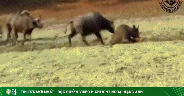 Video: Trâu rừng lao tới tung cú húc trời giáng khiến sư tử ngã sấp mặt để cứu đồng loại