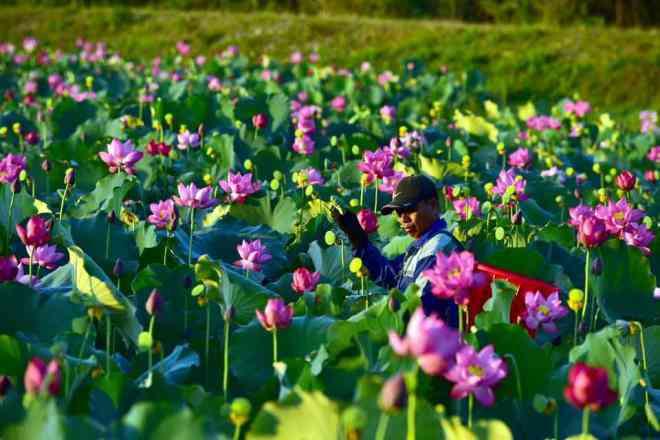 """Quảng Trị: Sen hồng đang mùa nở rộ, bạn đã chụp bộ ảnh """"sống ảo"""" nào chưa? - 6"""