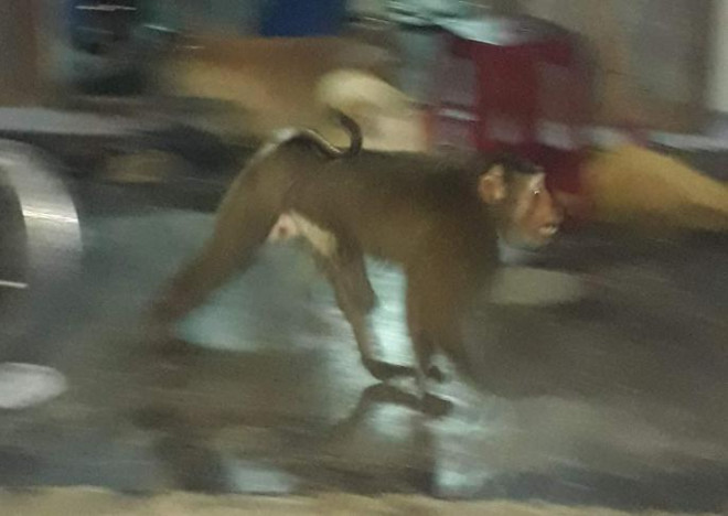 Khỉ quý hiếm đại náo, người dân Quảng Nam cười ra nước mắt - 2