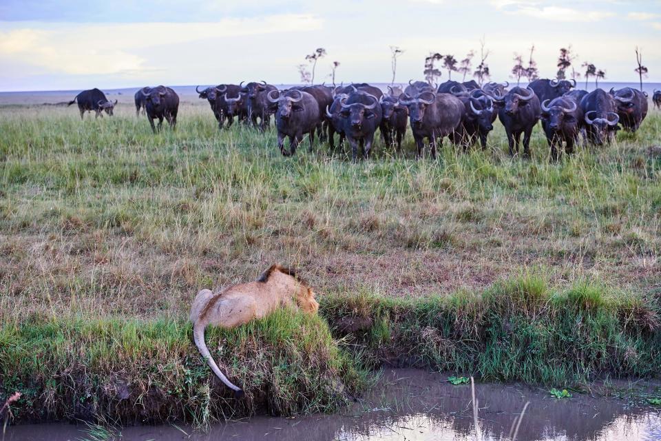 Giết 1 con trâu, sư tử bị cả đàn trâu trả thù đẫm máu - 1
