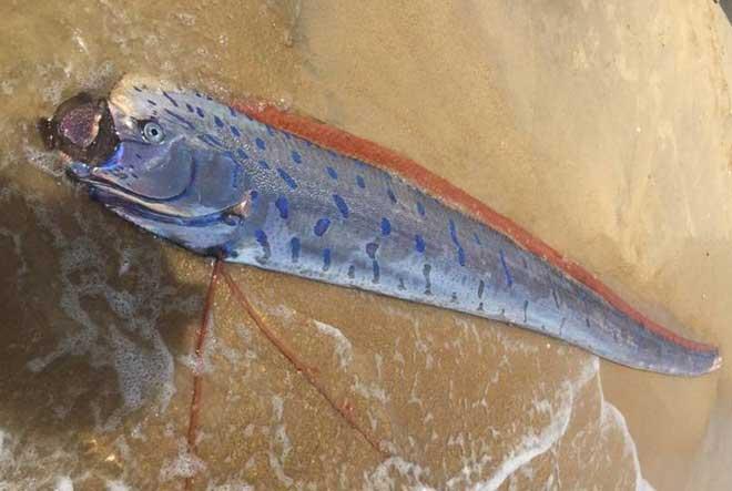 Xác cá hố rồng dài hơn 4m trôi dạt vào bờ biển ở Huế - 1