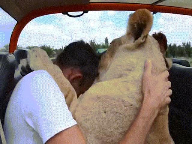 Khoảnh khắc sư tử rúc vào lòng du khách, ôm hôn như mèo