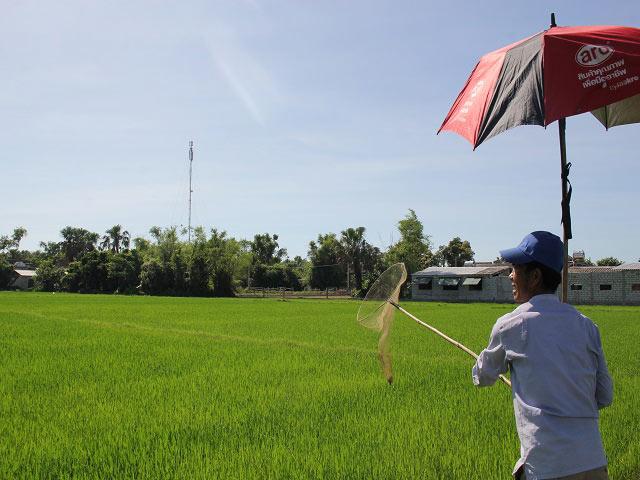Tuyệt chiêu săn ong bầu bằng vợt trên ruộng thu bộn tiền ngày nắng gắt - 1