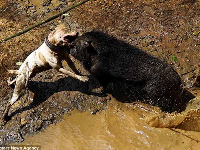 Man rợ đấu trường chó pitbull tử chiến lợn rừng ở Indonesia