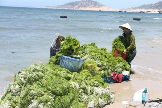 """Ninh Thuận: Dân bất ngờ trúng lớn """"lộc biển"""", mỗi ngày kiếm vài trăm ngàn - 1"""