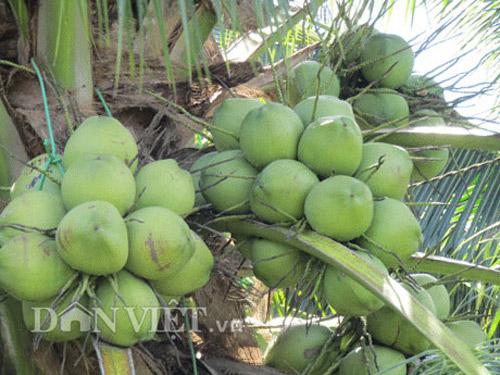 Cho bưởi da xanh xen canh dừa dứa, quanh năm có tiền - 1