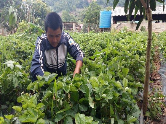 Lên núi trồng 7.000 cây dâu tây, bỏ túi trên trăm triệu đồng - 1