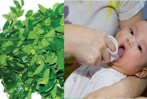 Rau ngót - Cây rau, cây thuốc quý - 1