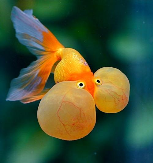 Thủy bao nhãn loại cá vàng có mắt bong bóng đẹp long lanh ở Việt Nam