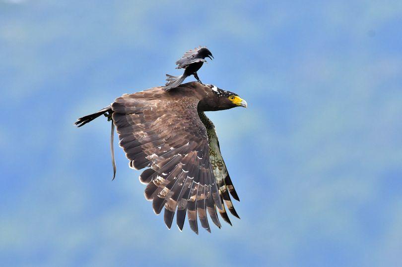 Ảnh đẹp: Chèo bẻo cả gan đuổi theo, cưỡi trên lưng đại bàng đang bay - 3
