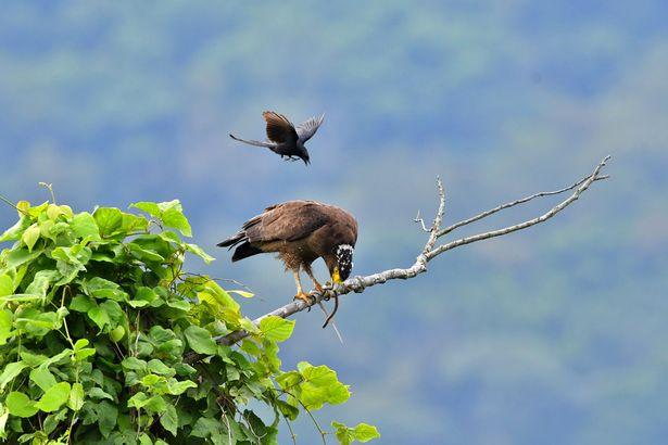 Ảnh đẹp: Chèo bẻo cả gan đuổi theo, cưỡi trên lưng đại bàng đang bay - 1