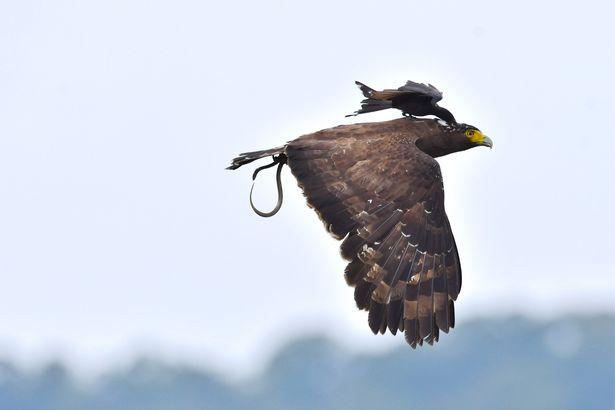 Ảnh đẹp: Chèo bẻo cả gan đuổi theo, cưỡi trên lưng đại bàng đang bay - 4