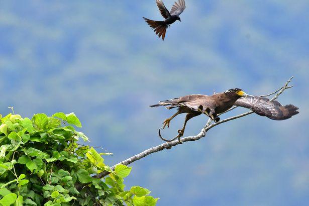 Ảnh đẹp: Chèo bẻo cả gan đuổi theo, cưỡi trên lưng đại bàng đang bay - 2
