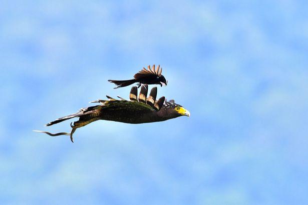 Ảnh đẹp: Chèo bẻo cả gan đuổi theo, cưỡi trên lưng đại bàng đang bay - 6