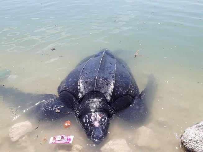 Rùa biển 300 kg mắc lưới ngư dân Lý Sơn - hình ảnh 1