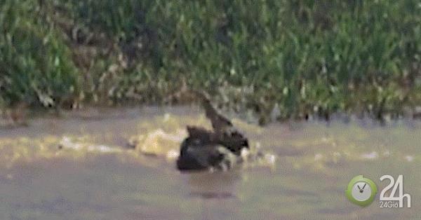 Báo đốm vật lộn tử chiến với cá sấu dưới sông và kết cục khó tin-Thế giới