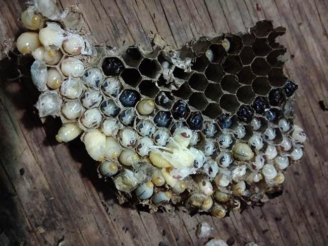Gỏi nhộng ong ông ăn bà khen tới tấp... - 2