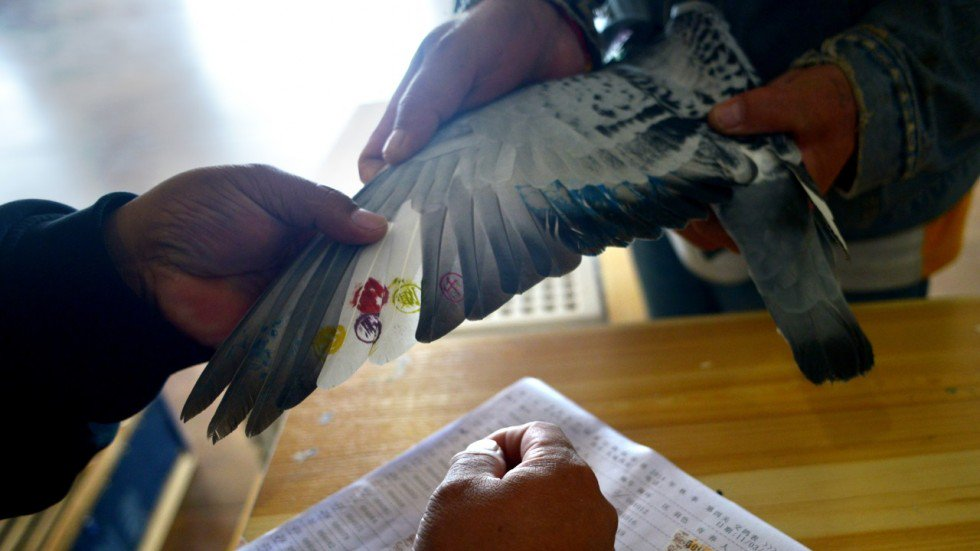 Chim bồ câu không bay vẫn về nhất trong cuộc… thi bay 750km - hình ảnh 1