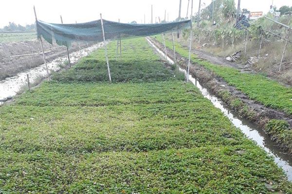 """Cả làng """"ăn"""" khoai lang, riêng anh trồng rau má, thu 800 ngàn/ngày - 1"""