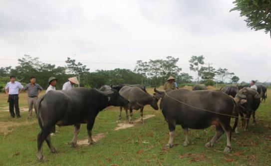 Nghệ An: Vỗ béo trâu thuê ở chợ Ú, nghề kiếm tiền dể như ăn kẹo - 2