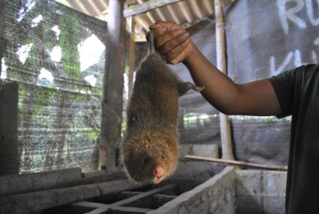 Nuôi loài chuột ăn bí đỏ, mía cây, thịt nung núc, bán 400 ngàn/kg - 2